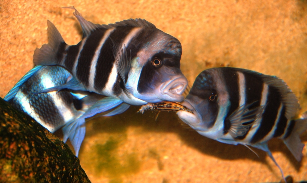 cypho vs. julidochromis
