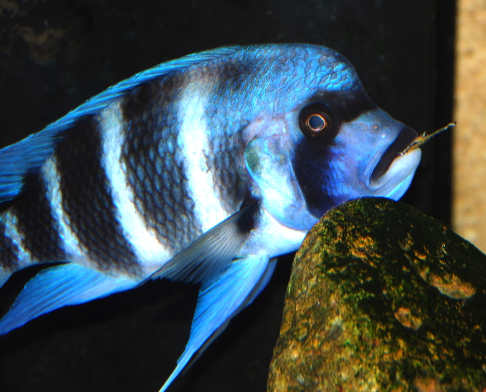 cypho vs. julidochromis 2
