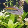 rainbowfish-25b